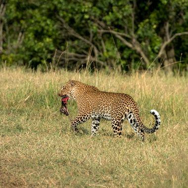 Leopardess with Kill
