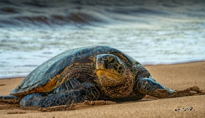 Green turtle beaching