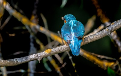 Camera shy Kingfisher