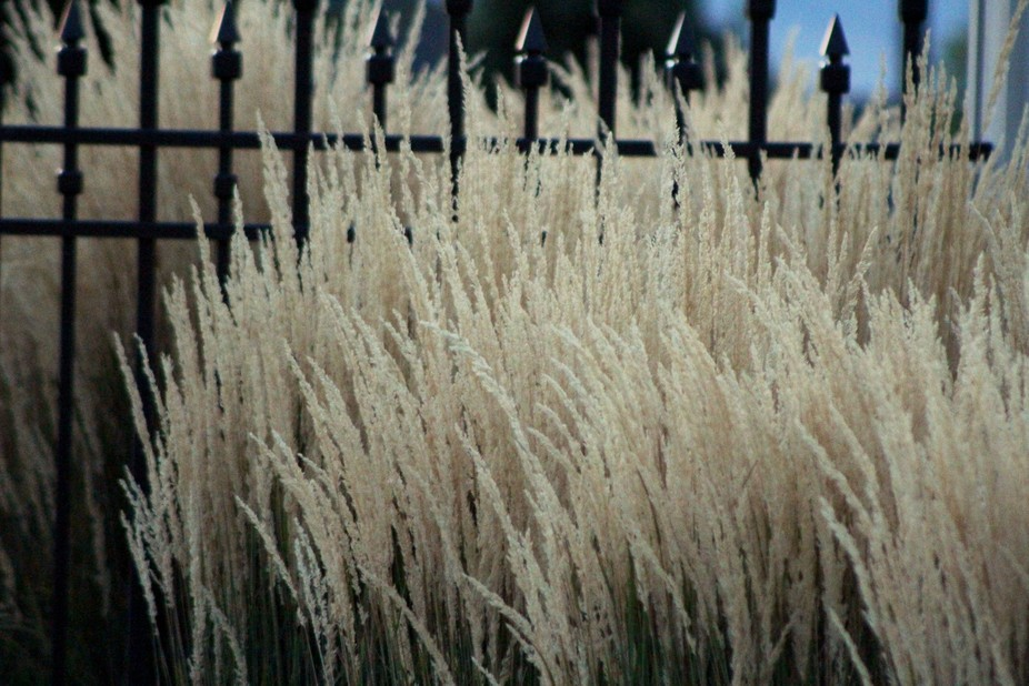 """Pampas Grass & Iron"" is a photograph of pampas grass against the wroug..."