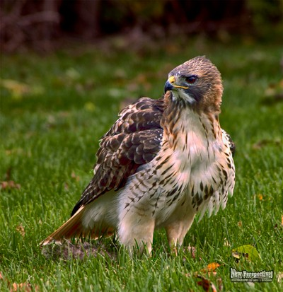 A Squirrel Lunch for a Red Tailed Hawk