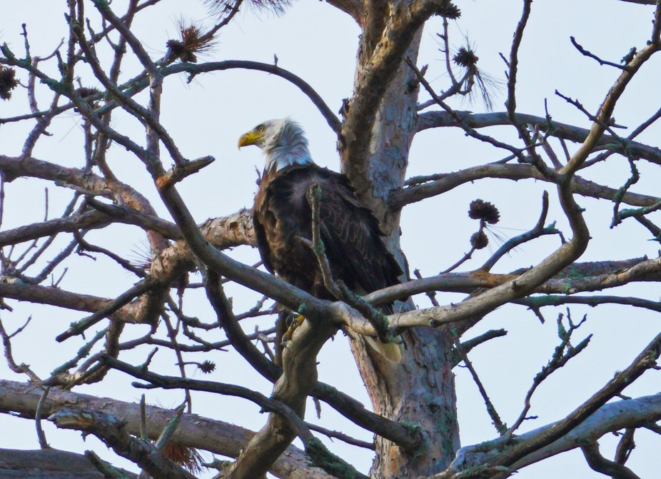 This eagle was resting on a windy day after enjoying a meal.