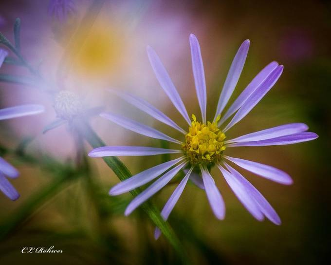 _MG_8152 by Cpjnt - Shades Of Purple Project
