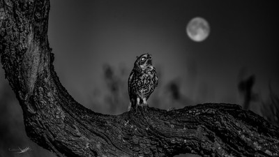 The little Owl and the MooN