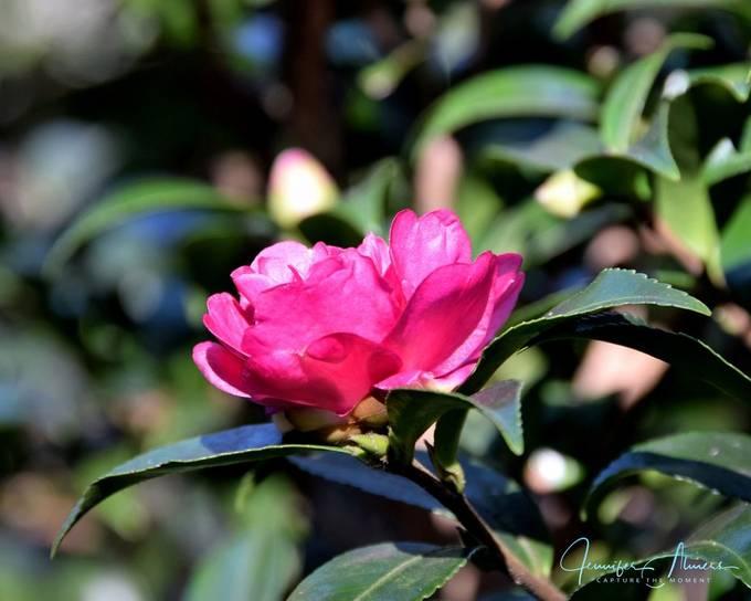 Camellia Catching the Sun