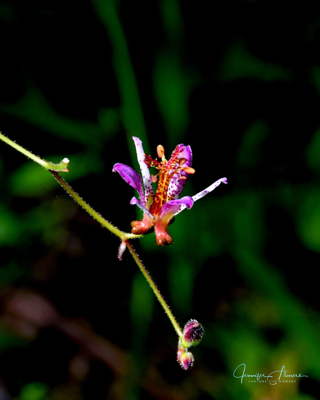 Toad Lily Elegance