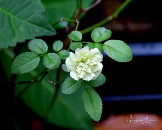 Green Mini-Rose