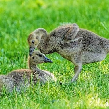 Canada Geese Chicks