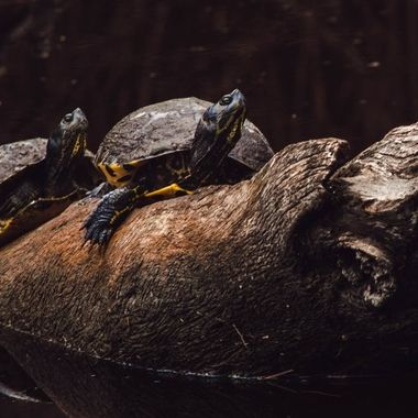 Low key image of yellow bellied sliders basking on a log