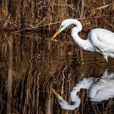 Reflection shot of a Egret fishing in the canals surrounding the wildlife refuge.