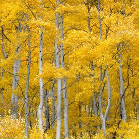 Silver Lake, Utah aspens in full color