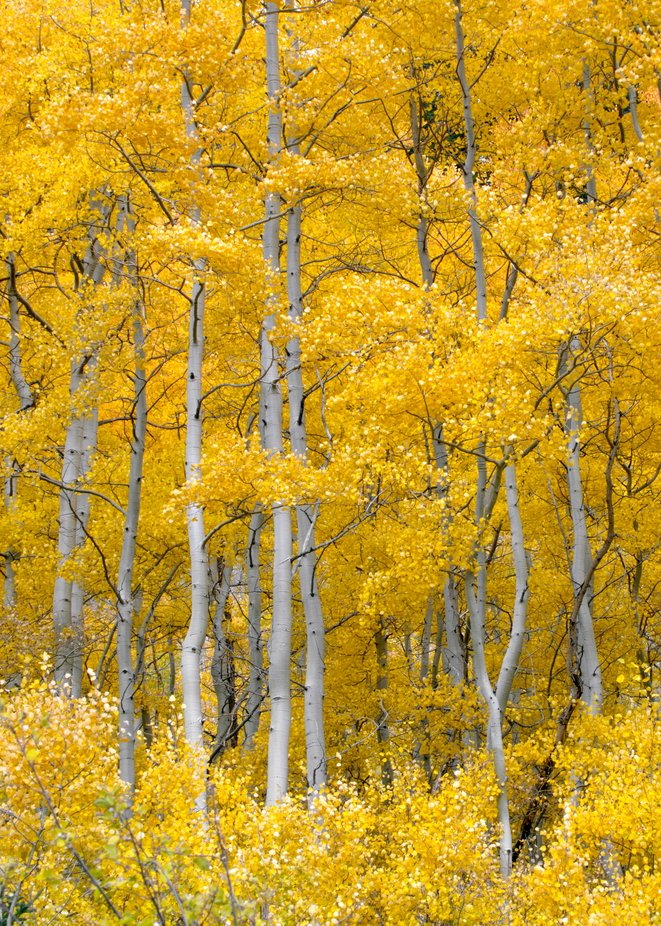 Aspen fall colors by ccpence - Tall Trees Photo Contest