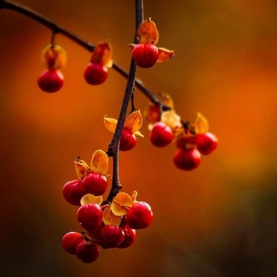 Bittersweet is such an accurate name for this invasive vine.  #trailsend #bittersweet #berries #fallcolors #afternoonlight #bokeh #wander #outthebackdoor #backyardnature #canon_photos #canonphotography #pocket_allnature #raw_allnature #ig_eternity #got_gr