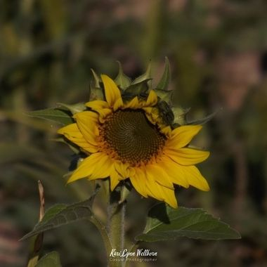 unedited sunflower