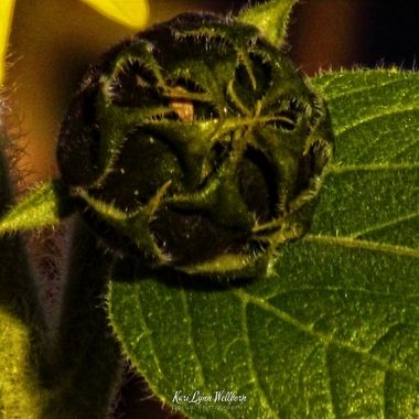 macro sunflower bud