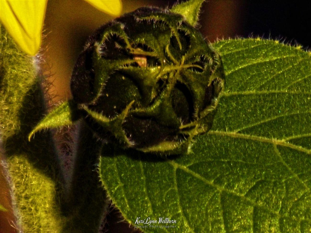 macro sunflower bud