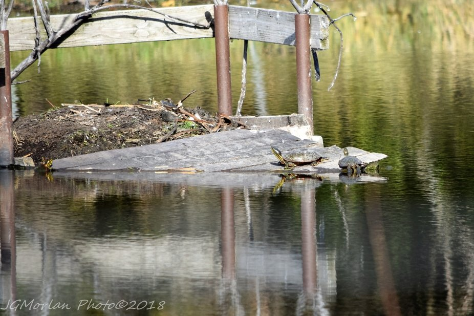 3 turtles take over the abandoned nest in the Swan Pond