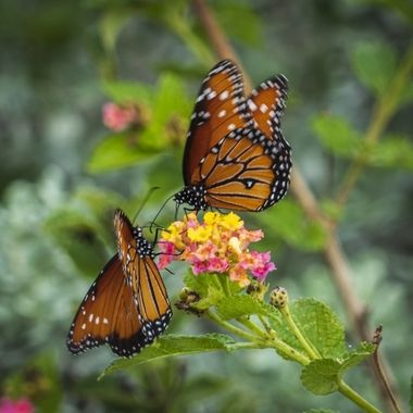 Two monarchs sharing a flower