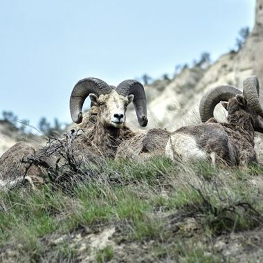 California Bighorns near Kamloops B C