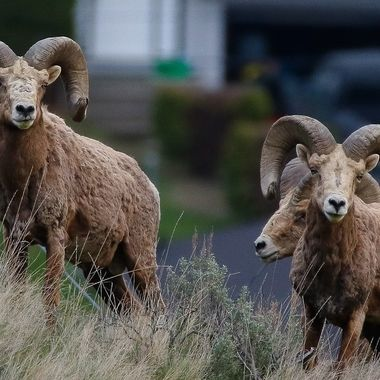Three of the biggest California Ram in the herd near Kamloops B C