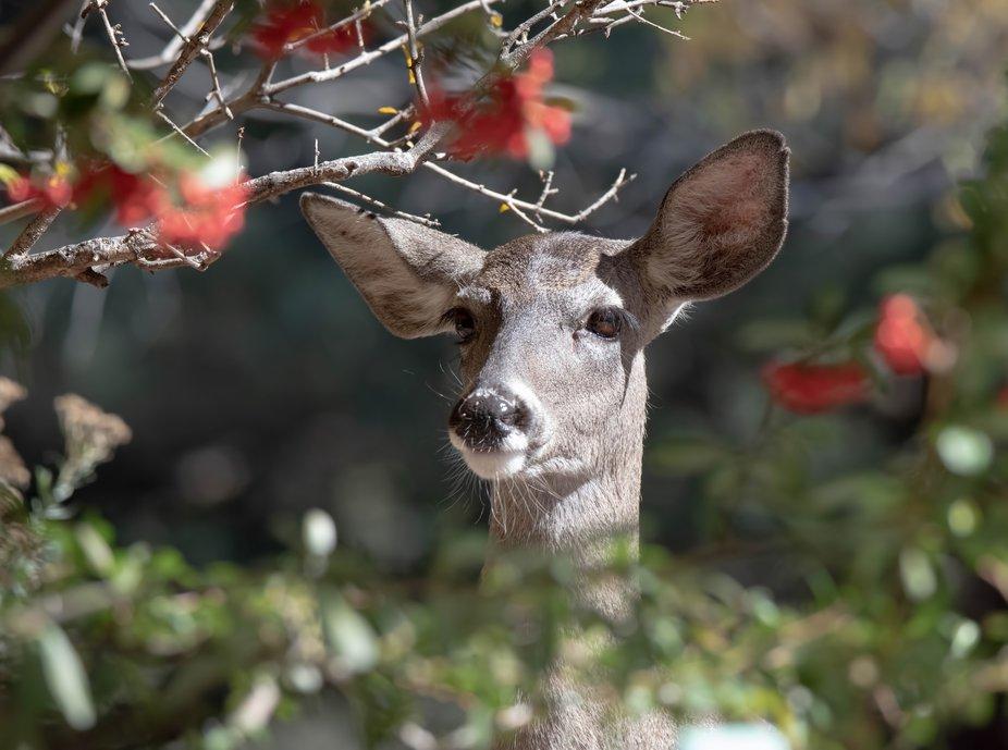 This is a wild deer in Portal, Arizona