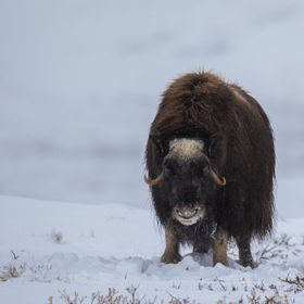 This muskox was watching us carefully as we approached with our cameras. The animals are harmless as long as you keep your distance and read thei...