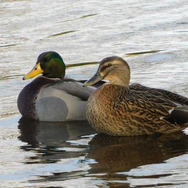 Mated Mallard Ducks
