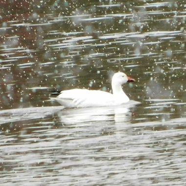 Snow Goose in the Snow