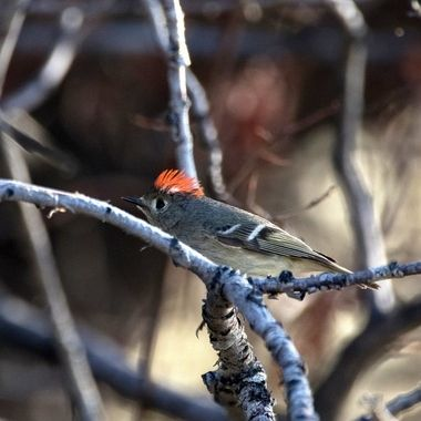 Ruby Crowned Kinglet 2