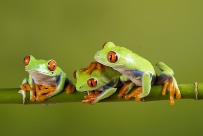 red eyes tree frogs