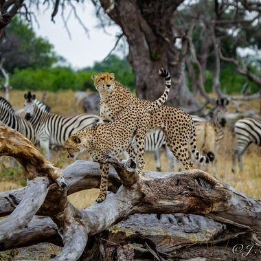 Cheetah Brothers being followed by Zebra. Keep your enemy in sight.