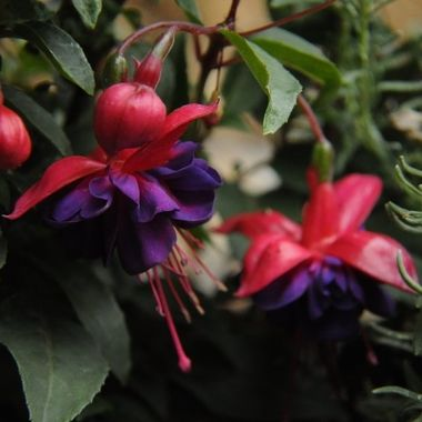 Fuchsias are know as Deóra Dé in Irish, this translates to English as Tears of God