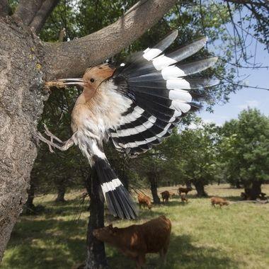 Abubilla (Upupa epops), ave insectivora propia del ecosistema mediterraneo. Cria en las dehesas (Bosque aclarado para aprovechamiento ganadero)