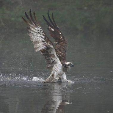 Aguila pescadora (Pandion haliaetus), emergiendo del lago con el pez en las garras. Fotografiada en Escocia