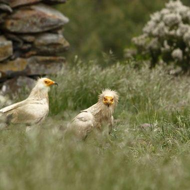 Alimoches (Neophron pernopterus), es el buitre (ave carroñera), mas pequeña de Europa.