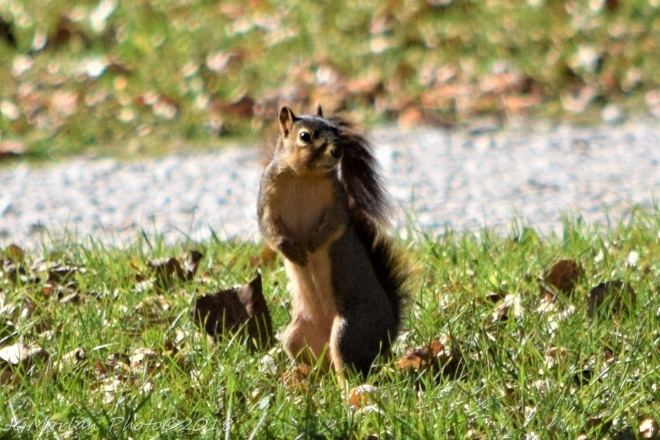Squirrel caught unawares but seems confused to even be out and about.