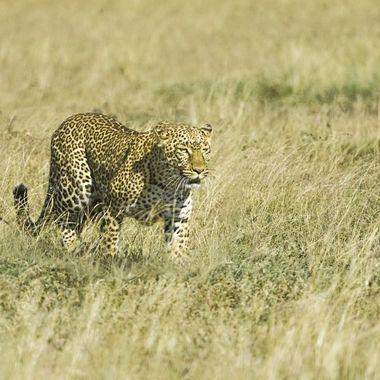 Cautious Leopardess
