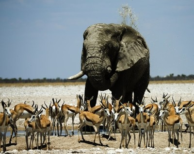 Elephant sharing with springbok