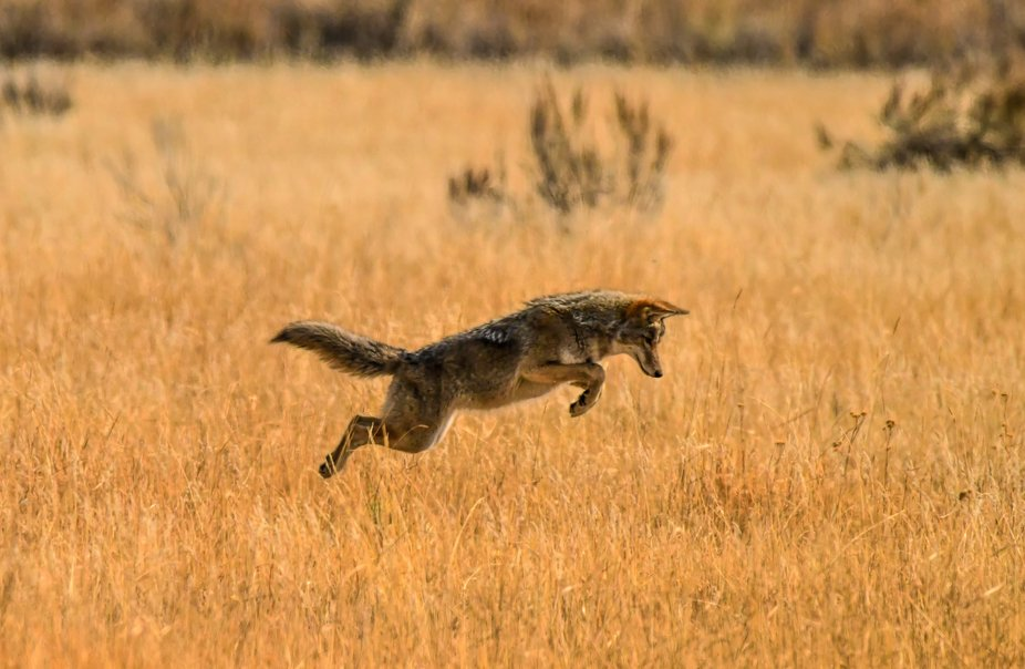 Coyote looking for lunch. This was taken in the Sierra Valley near Sierraville, California.