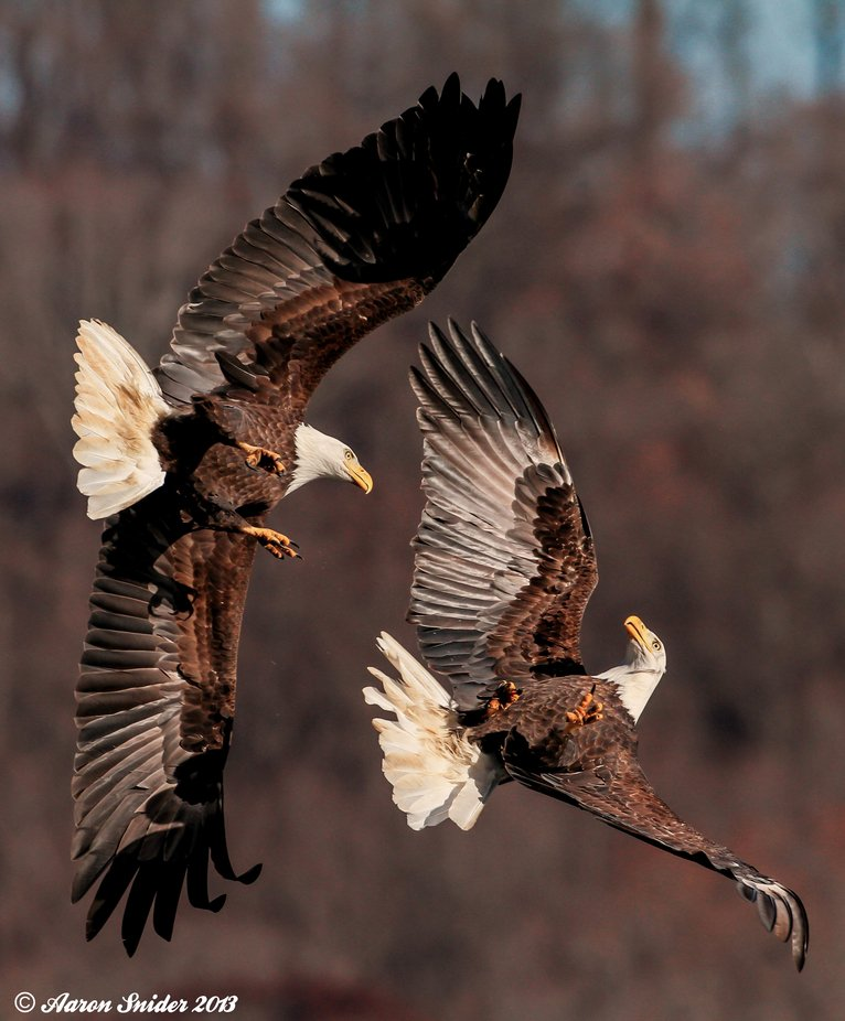 Duel by aaronsnider - Majestic Eagles Photo Contest