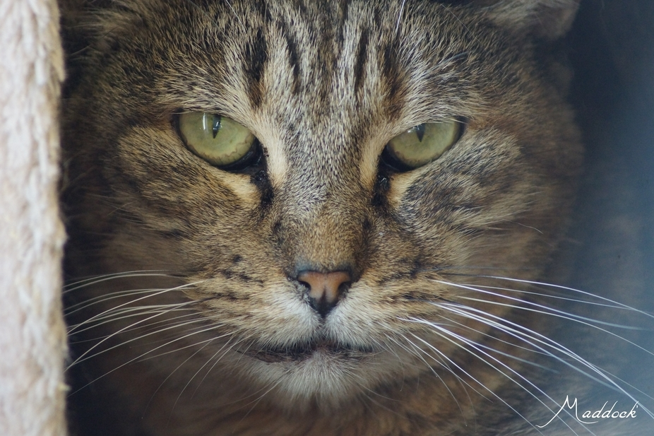 Getting the eye, is a face on portrait of a ARF (Animal Rescue Foundation) cat.