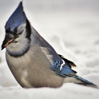 Blue jay with it's mouth full