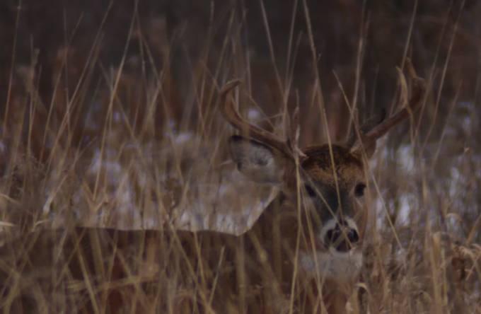 Nice little buck impatiently waiting for a feeding doe
