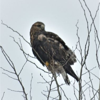 Hawk in tree just down the truck  route from home on an overcast fall evening