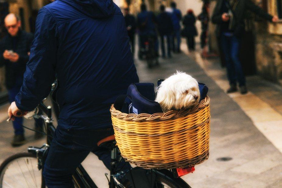 Little dog spies from bike basket