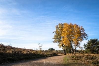 Autumn Birches Het Eendenmeer
