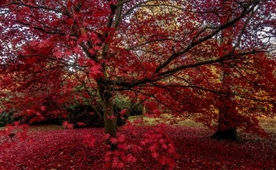 Sheffield Park NT red in colour. November 2018