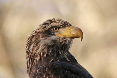 Juvenile Bald Eagle at Mongaup