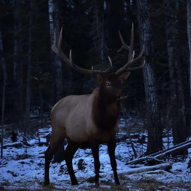 The Herd Bull at Dusk
