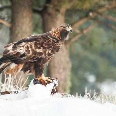 Aguila Real (Aquila chrysaetos), sobre el cadaver de un cerdo tapado por la nieve). Las Aguilas reales prefieren cazar presas vivas, pero cuando hay nieve pueden comer animales muertos.